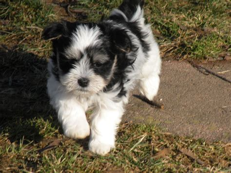 havanese breed add breeder my breeders new style for 2016 2017