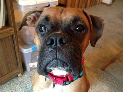 how to a to stop when excited teaching an excited boxer to calm to stop his behaviors problems
