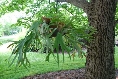 hanging semi large staghorn from a tree trunk