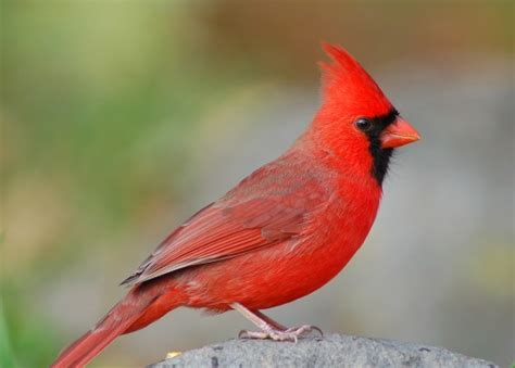 state bird of carolina songbirds carolina s state bird how to identify the northern cardinal