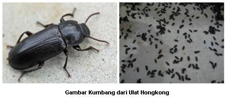 Bibit Ulat Hongkong hulobatu nias budidaya ulat hongkong mealworm