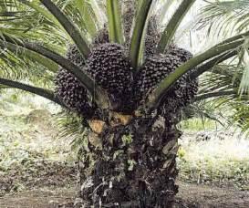 Plant Leaf Diseases - elaeis guineensis var tenera oil palm