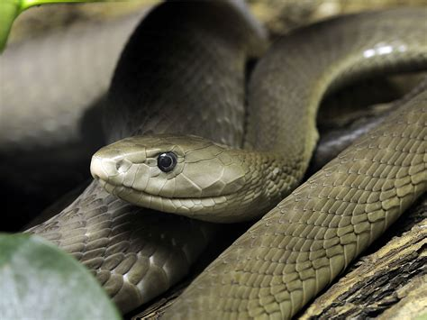 black mamba black mamba reportedly missing in camden the independent