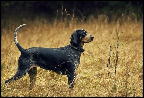 blue tick bluetick coonhound justadogg