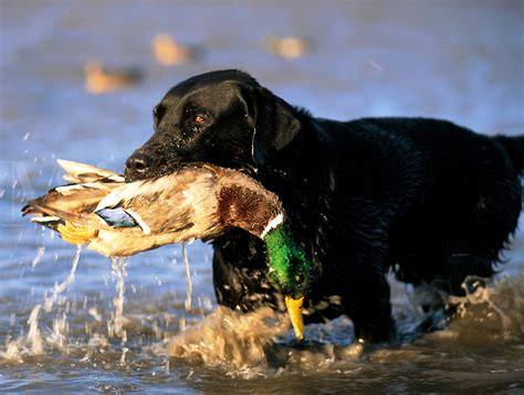 duck puppy black lab duck quotes