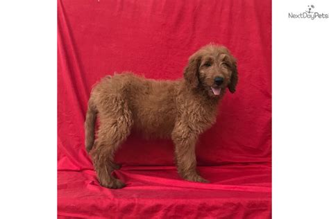 goldendoodle puppies for sale bay area flora goldendoodle puppy for sale near ta bay area
