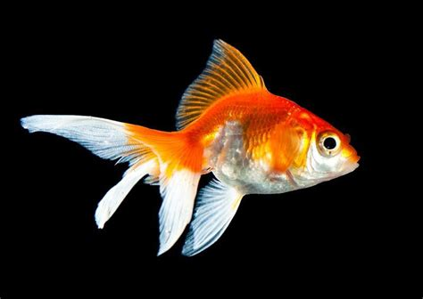 goldfish wallpaper common goldfish wallpapers hd download