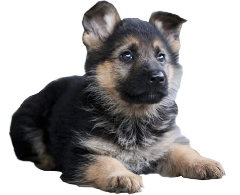 puppy png image gallery transparent puppy