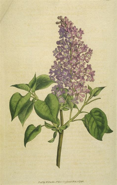 lilac flower meaning the castle bromwich hall gardens blog plant of the month