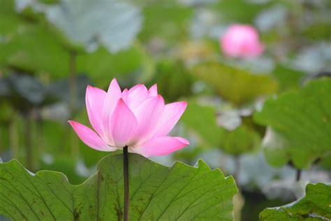 sacred lotus sacred lotus flower kaijaybird