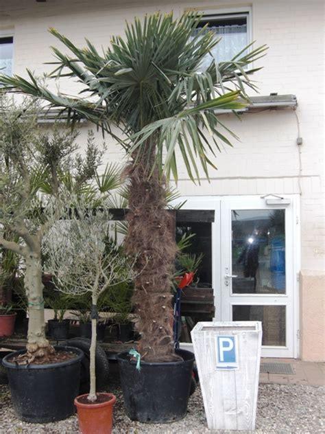 palme österreich winterharte palme trachycarpus fortunei