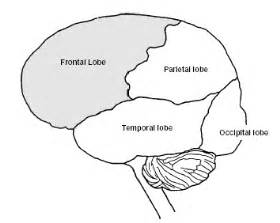 Brain Outline Lobes by Research In Brain Function And Learning