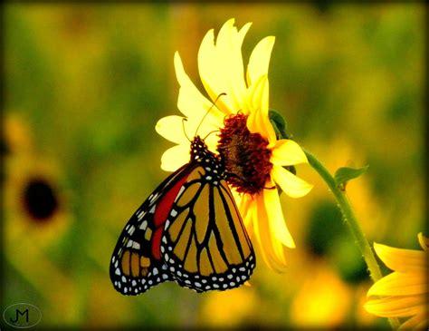 monarch color monarch butterfly colors bubakids