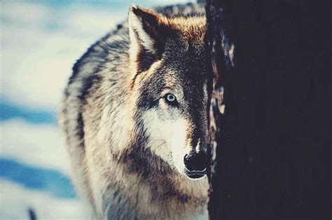themes tumblr wolf white wolf gif tumblr
