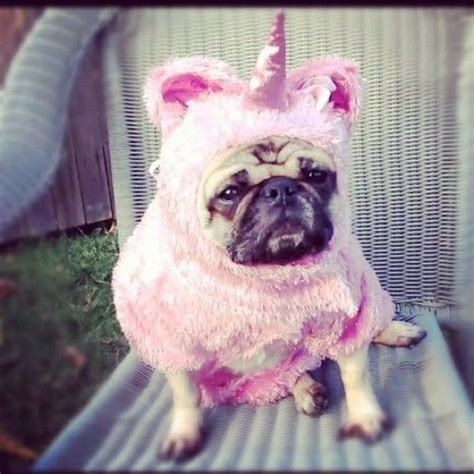 pug in unicorn costume behold it s a sighting of the mysterious unicorn pug via doingyouafavour