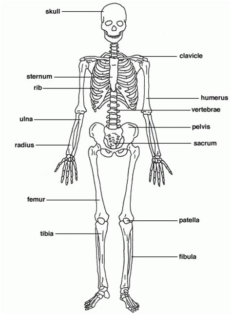 labeled bone diagram the human bones labeled organ anatomy