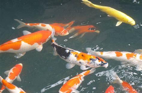 Pakan Ikan cara pembutan pakan ikan
