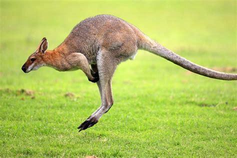 imagenes animales que saltan kangourou jambes achetez des lots 224 petit prix kangourou