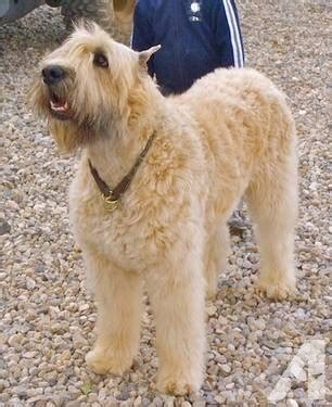 bouvier des flandres puppies for sale unborn bouvier des flandres puppies for sale in yucca valley california classified