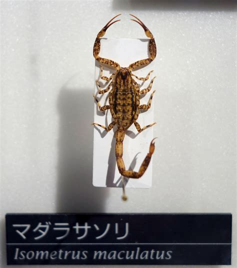 file isometrus maculatus national museum of nature and