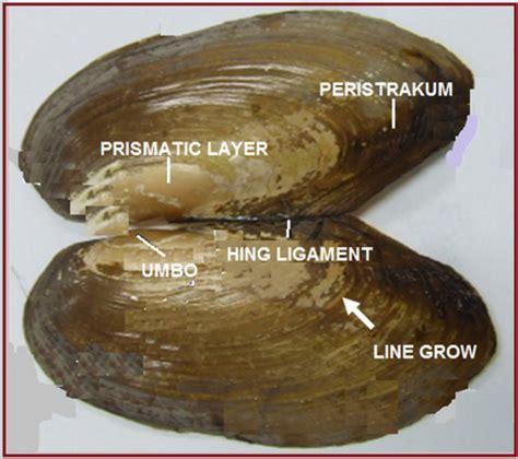 Mutiara Kerang Kima pelecypoda mollusca kerang penghasil mutiara