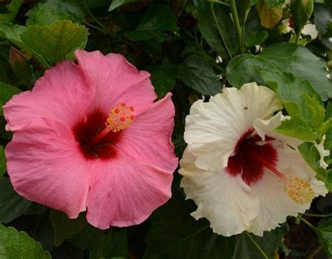 fiori ibisco ibisco il fiore della bellezza