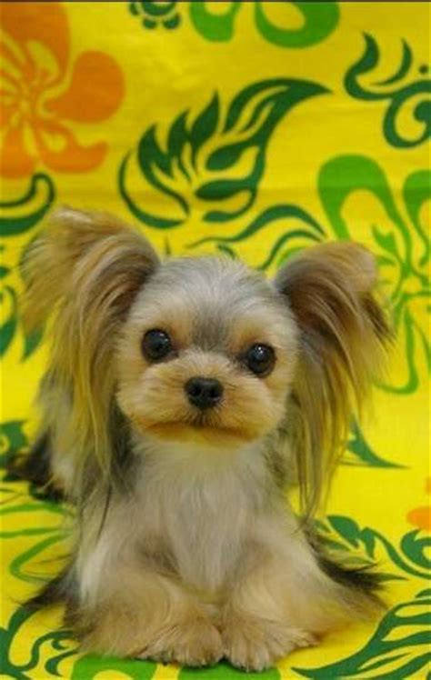 yorkie puppy cut instructions 138 best images about dog grooming on pinterest