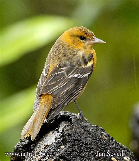 northern oriole photos northern oriole images nature
