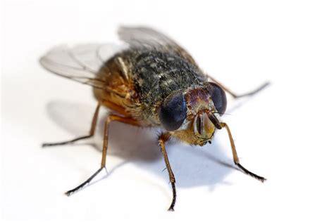 Flies In House by House Flies Hum In The Octave Of Facts