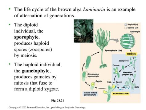 cycle of laminaria flowchart chapter 28