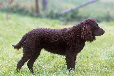 american water spaniel puppies american water spaniel puppies for sale from reputable breeders