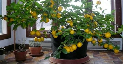 how to house a grown how to grow a lemon tree from seed easily in your own home