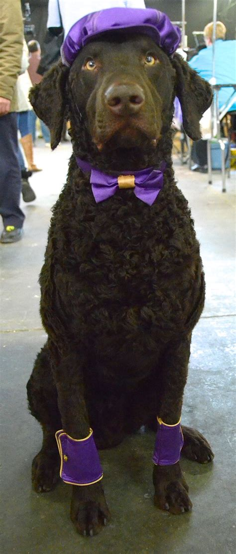 17 Best images about Westminster Kennel Club Dog Show on ...