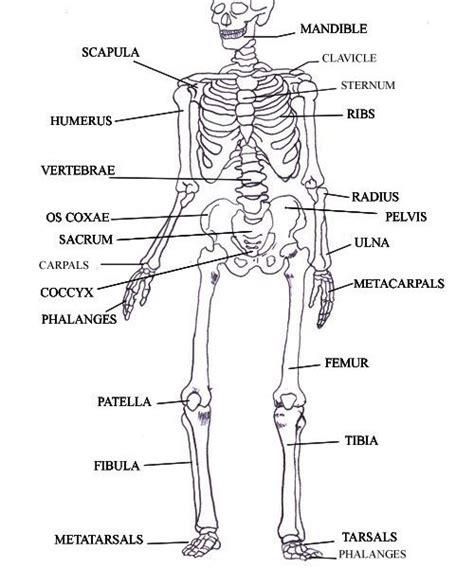 skeleton diagram labeled labeled skeleton diagram labeled skeletal system diagram