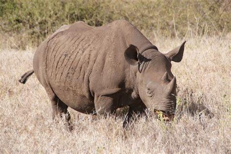 black rhino black rhino endangered black rhino save the rhino