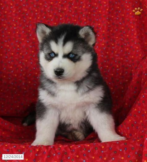 husky puppies pa siberian husky puppy for sale in pennsylvania siberian husky husky