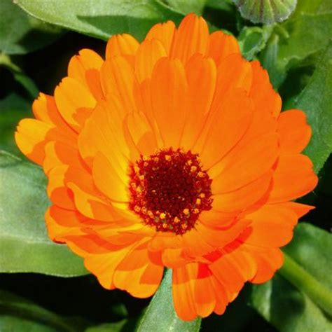 fiore di calendula minestra di crescione e di fiori di calendula