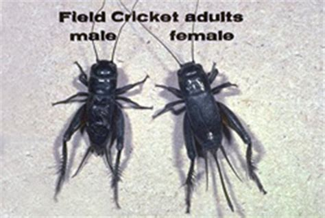 black crickets in house crickets panhandle bug killers amarillo tx