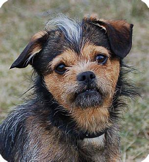 pitbull yorkie mix ch adopted mora mn border terrier yorkie terrier mix