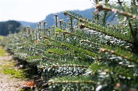weihnachtsbaum jungpflanzen verschiedene sorten zur anzucht