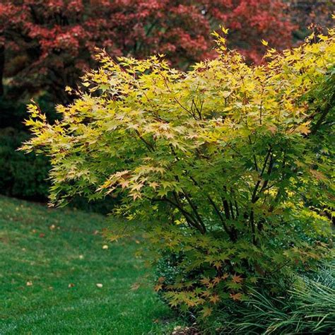 japanese maple trees for your yard the plant snow and green leaves