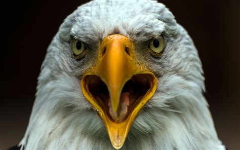 high quality picture of bird image of eagle macro