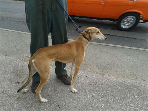 Whippet Shedding by Saluki Greyhound X Bull Greyhound Breeds Picture