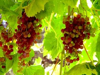 how to take cuttings from grapevines the garden of eaden