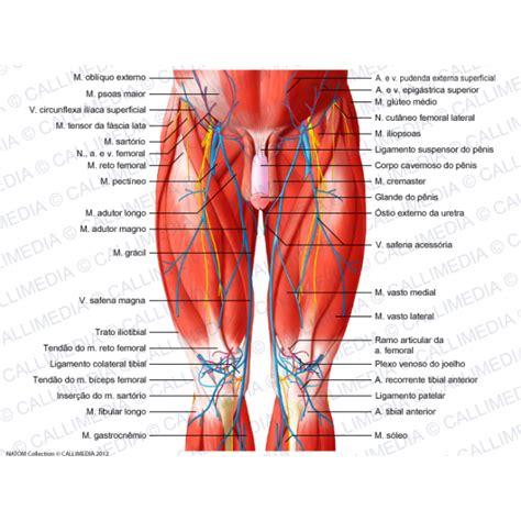 tendine interno coscia muscoli della coscia anatomia topografica e fisiologia