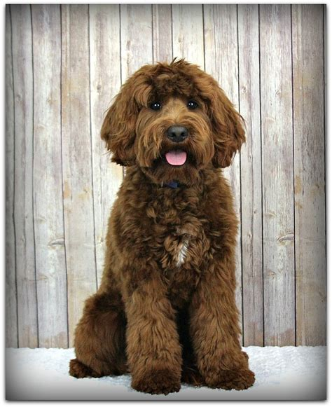how much are labradoodle puppies our labradoodle boys and stud service creek labradoodles