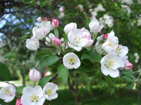 crab apple blossoms great photos pinterest