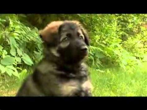dogs 101 german shepherd dogs 101 german shepherd animal planet flv