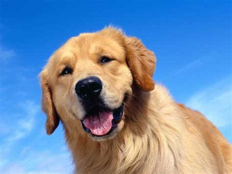 a golden retriever golden retriever wallpaper 31458