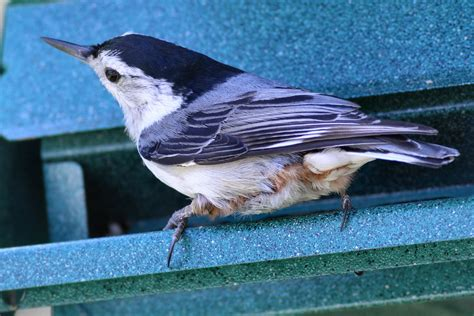 best 28 what do nuthatches eat red breasted or white